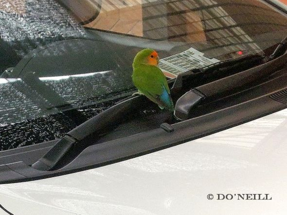 © Rare Visitation by Avian Escapee - Peach-Faced Lovebird