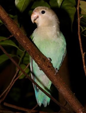 Peach-faced Lovebird found on Vesak Day eve