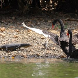 Malayan Water Monitor and the Black Swans
