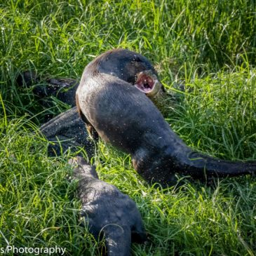 Malayan Water Monitor attacked a Smooth Otter pup