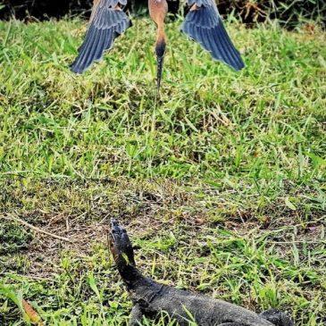Malayan Water Monitor and the Purple Heron