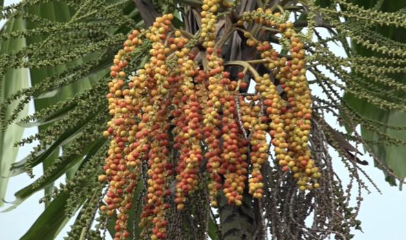 MacArthur Palm-fruiting