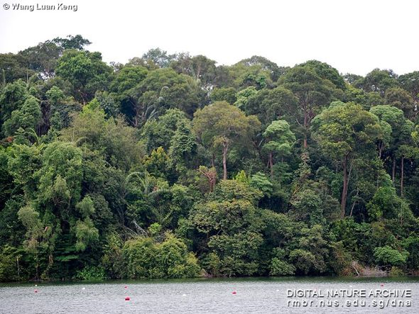MacRitchie forest (Photo credit: Wang Luan Keng)