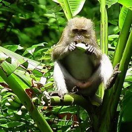 MACAQUES FEEDING ON UNRIPE BANANAS