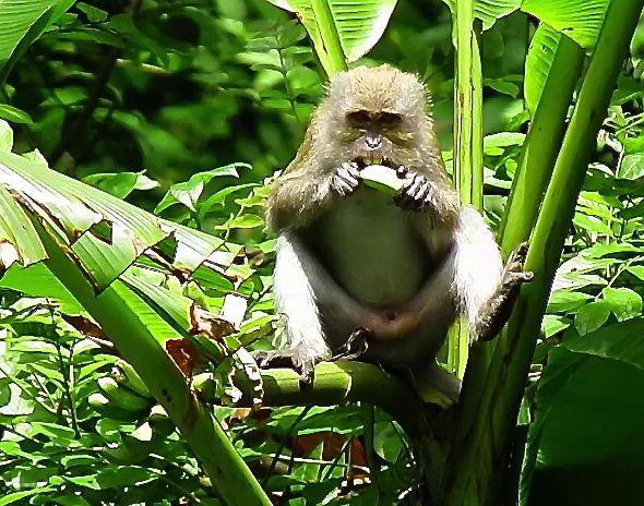 MACAQUES FEEDING ON UNRIPE BANANAS