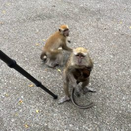 Long-tailed Macaque sighted at Sungei Buloh