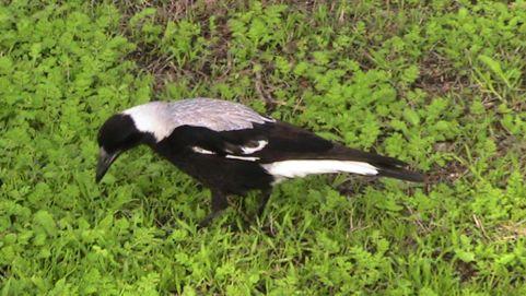 Australian Magpie picking earthworms
