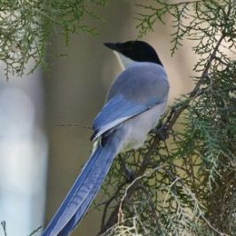Azure-winged Magpie in Beijing, China