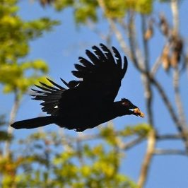 Encounter with the Black Magpie in Perak, Malaysia