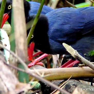 © A Gruesome Snake Feast with Formosan Magpie