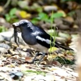 Oriental Magpie-robin thrashing and stabbing a lizard