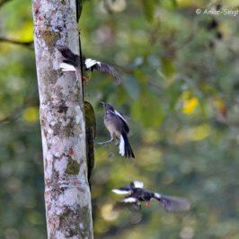 Oriental Magpie-robin : frugivory