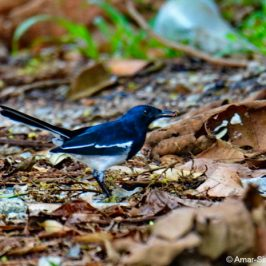 Frugivory by Oriental Magpie Robin