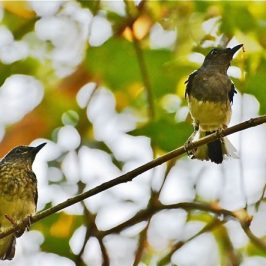 Oriental Magpie-robin anting