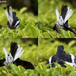 Oriental Magpie Robin  – display/behaviour