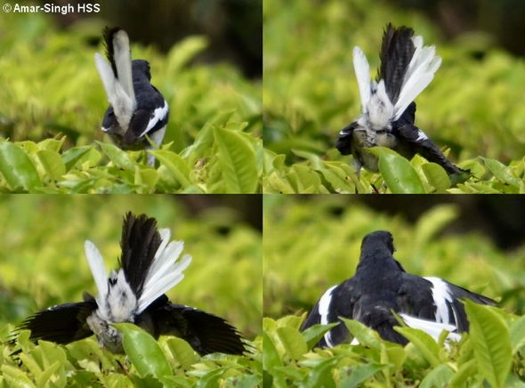 Oriental Magpie Robin  – display/behaviour