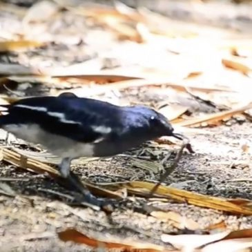 Oriental Magpie-robin dealing with an earthworm