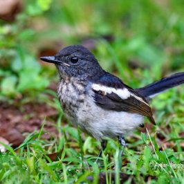 Oriental Magpie-robin – juveniles and adults
