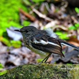 Oriental Magpie-robin – juvenile plumage