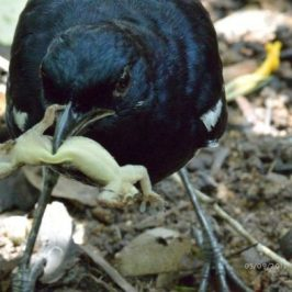 Oriental Magpie-robin trashing a Lizard