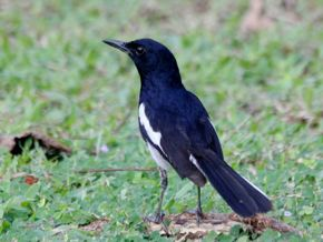 Oriental Magpie Robins – Father & Son or Brothers?