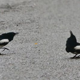 Oriental Magpie-robin – courtship ritual or conflict?