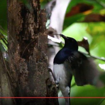 Oriental Magpie-robin preparing its nesting cavity