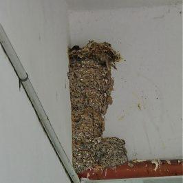 Oriental Magpie-robin – odd nesting site