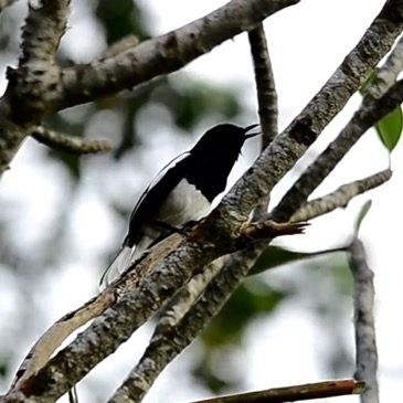 Oriental Magpie-robin singing