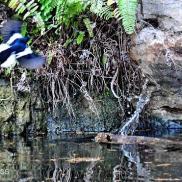 Oriental Magpie-robin vs. Asian Water Monitor