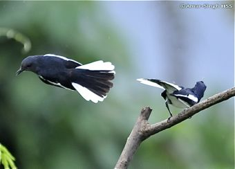 Oriental Magpie Robin courting