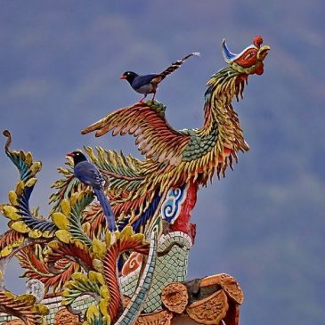 Birding in Taiwan: 12. Taiwan Blue Magpie