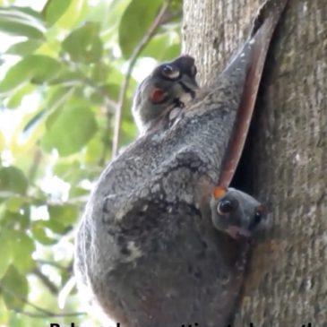 Malayan Colugo at the Bukit Timah Nature Reserve