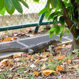 Malayan Water Monitor prowling along the perimeter of our school