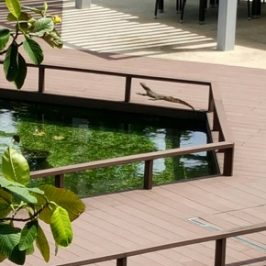 Malayan Water Monitor visits condominium pool