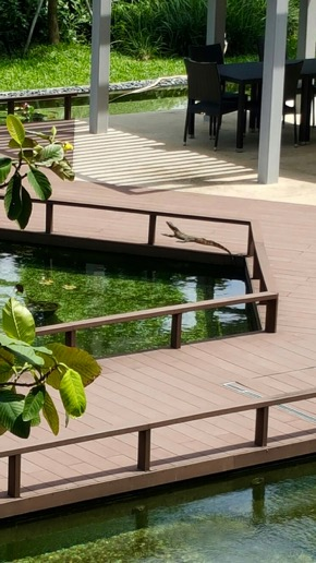 Malayan Water Monitor visits condominium pool
