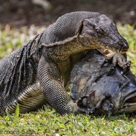 Malayan Water Monitor and the Bighead Carp