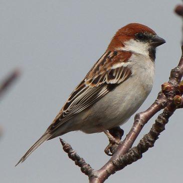Russet Sparrows having a bath