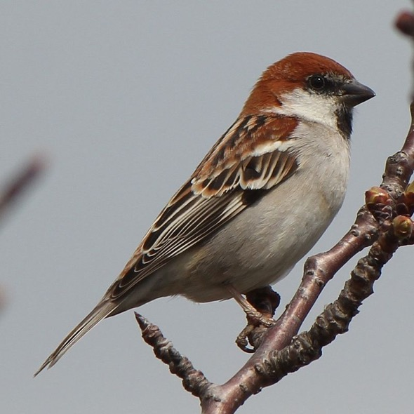 Male Russet Sparrow (Photo Credit: Wikipedia Commons)