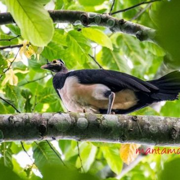 In search of the Maleo in Northern Sulawesi
