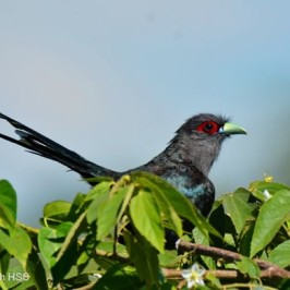 Black-bellied Malkoha – less often seen and photographed