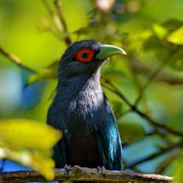 Chestnut-bellied Malkoha, a friendly bird