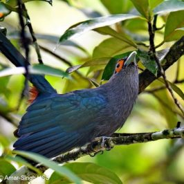 Chestnut-bellied Malkoha – the friendliest of malkohas