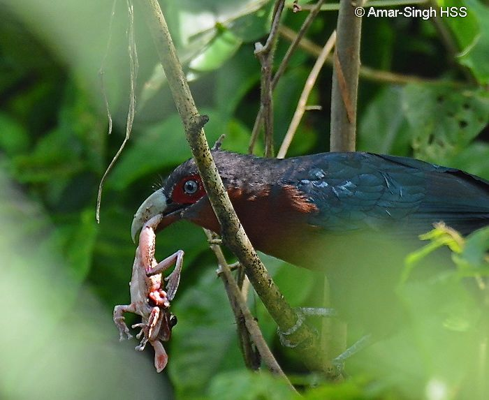 Chestnut-breasted Malkoha – male with frog prey