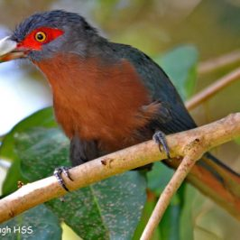 Chestnut-breasted Malkoha – portrait