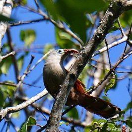 Raffles's Malkoha nesting and calls