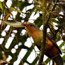 Red-billed Malkoha: Calls