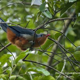 Red-billed Malkoha foraging in the forest