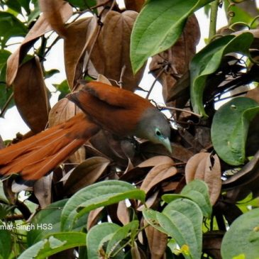 Female Raffles's Malkoha in mixed bird wave