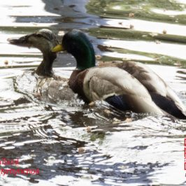 Mallard: Forced mating